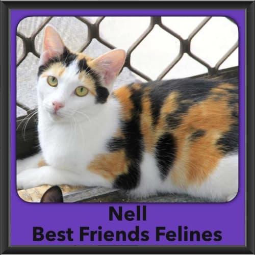 Nell - Domestic Short Hair Cat