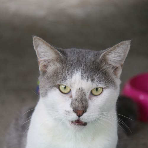 Tommy - Domestic Short Hair Cat