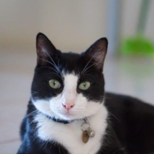 Maddox (C2427)  - Domestic Short Hair Cat