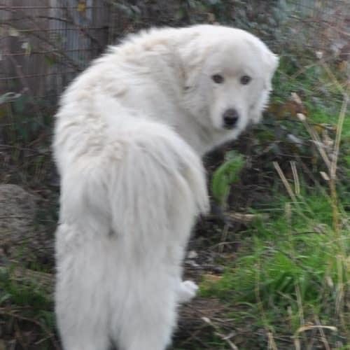 Snowy - Maremma Sheepdog