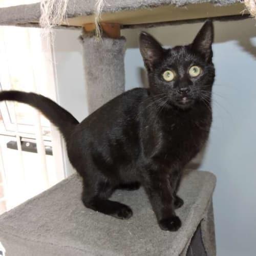 Ebz - Domestic Short Hair Cat