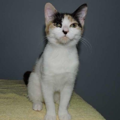 Izzie - Domestic Short Hair Cat