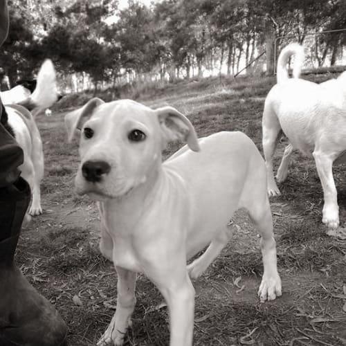 Kismet - Mastiff x Whippet Dog