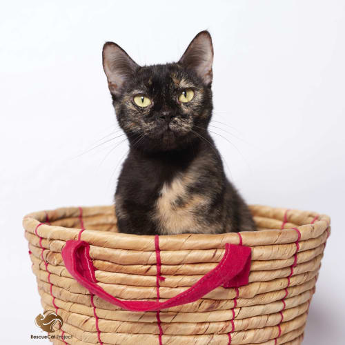 """Mika"" $49 - Purrfect match  - Oriental Cat"