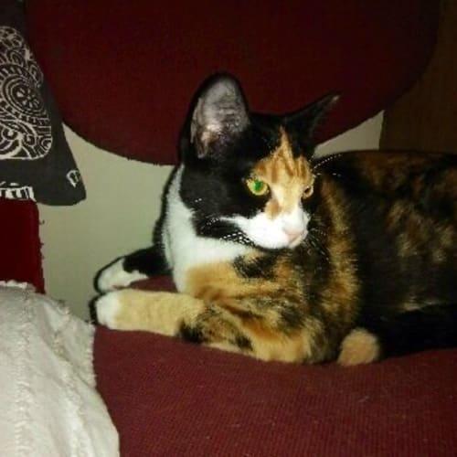 Sugar - Domestic Short Hair Cat