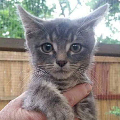 Jax - Domestic Short Hair Cat