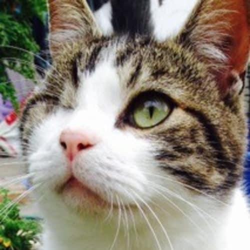 Caspari - Domestic Short Hair Cat