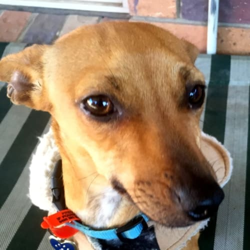 Daisie - Chihuahua Dog