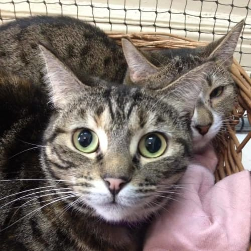 Who can give Heidi her new home? - Domestic Short Hair Cat