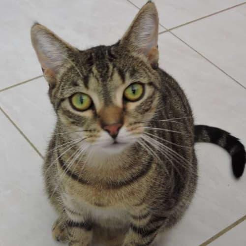 Bob - Domestic Short Hair Cat