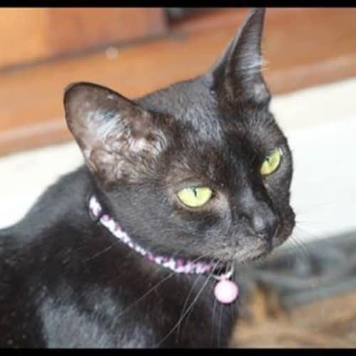 Regal - Domestic Short Hair Cat