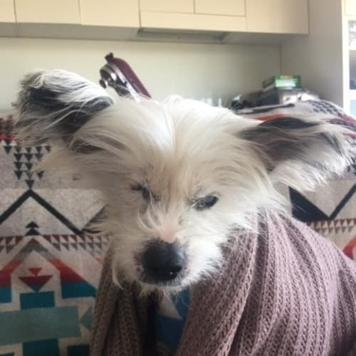 Aragon - Chinese Crested Dog