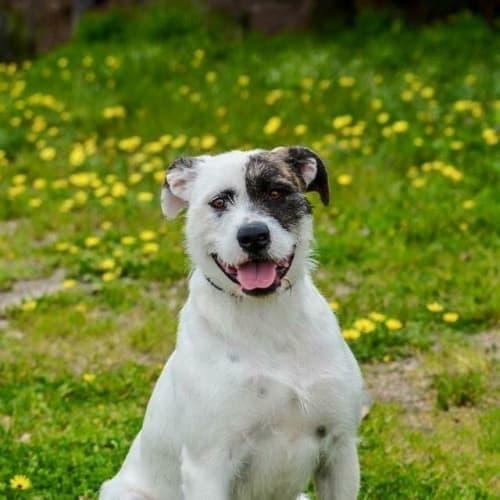 Millie DL1441 - Wolfhound Dog