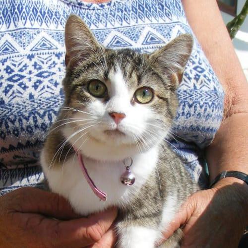 Delia - Domestic Short Hair Cat