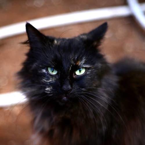 Tori - Domestic Medium Hair Cat