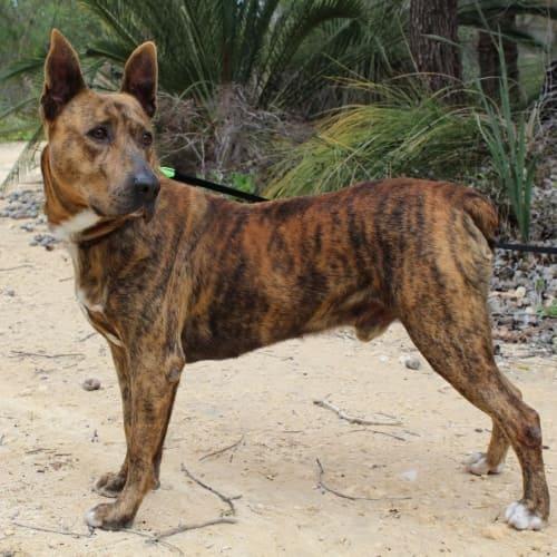 Alfie **Foster/Adopt**  - Kelpie x Staffy Dog