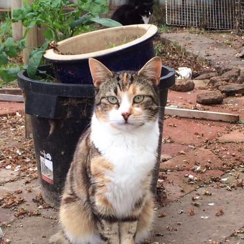 Diaz - Domestic Short Hair Cat