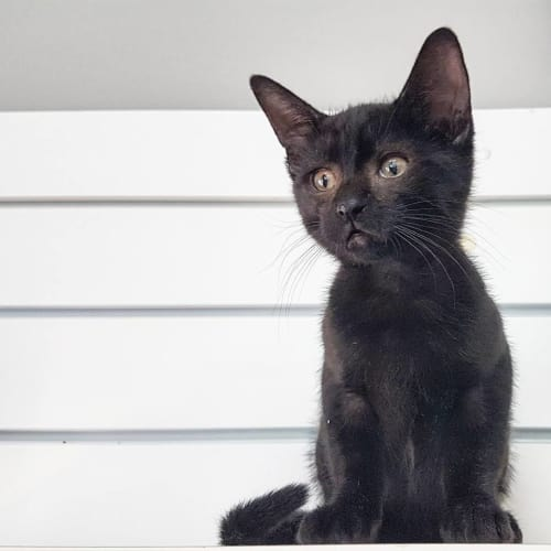 Ziggy - Domestic Short Hair Cat
