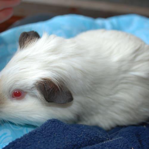 CutiePie - buddy Fantasia - Guinea Pig