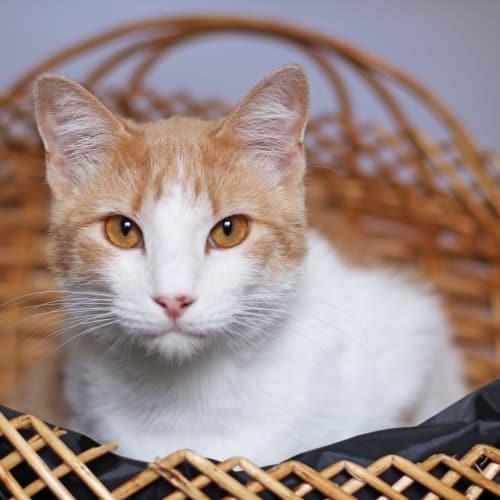 Garfield - Domestic Short Hair Cat