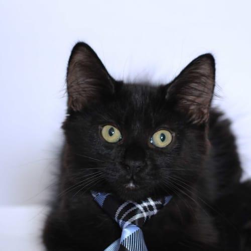 Lloyd - Domestic Medium Hair Cat