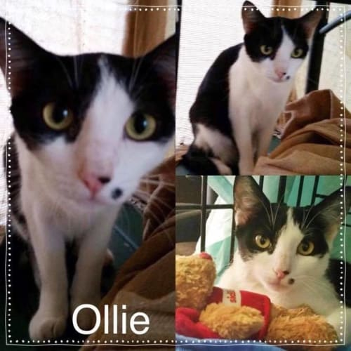Olli - Domestic Short Hair Cat