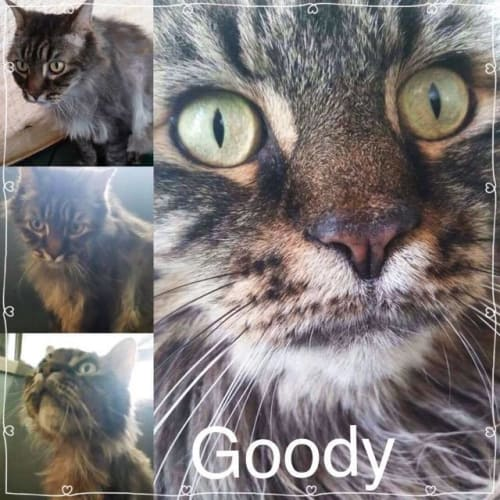 Goody - Domestic Long Hair Cat