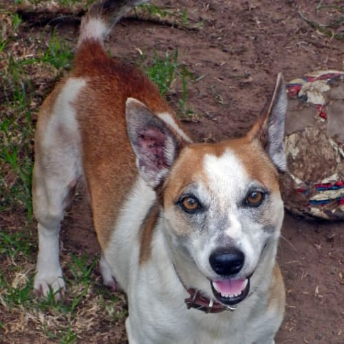 Hall - Jack Russell Terrier Dog