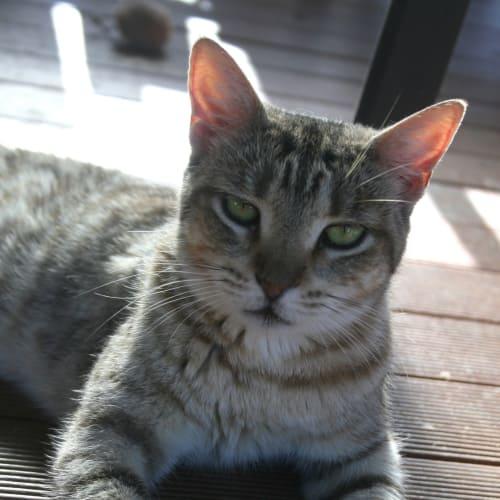 Khleo - Domestic Short Hair Cat
