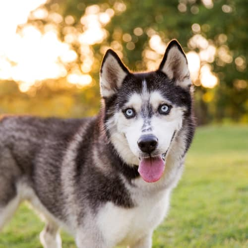 Dezi - Siberian Husky Dog
