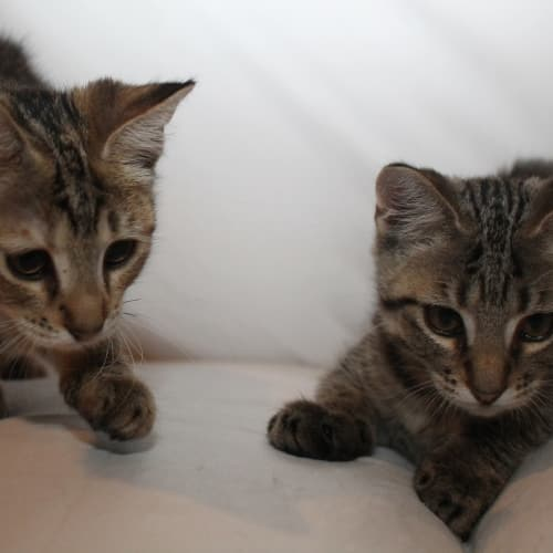 Finn and Phoebe. - Domestic Short Hair Cat