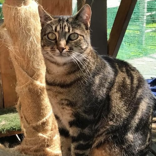 Tomasina ** 2nd Chance Cat Rescue** - Domestic Short Hair Cat