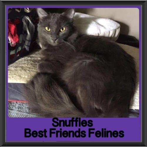 Snuffles - Domestic Medium Hair Cat