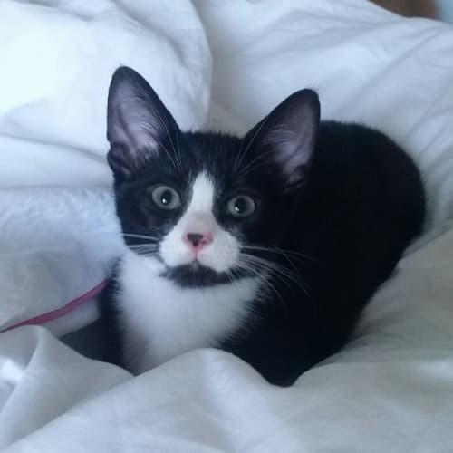 Valdamar - Domestic Short Hair Cat