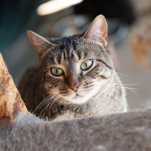 Tala - Domestic Short Hair Cat