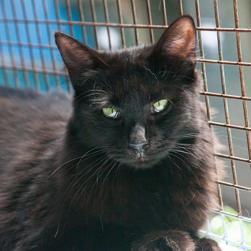 Josephine - Oriental Cat