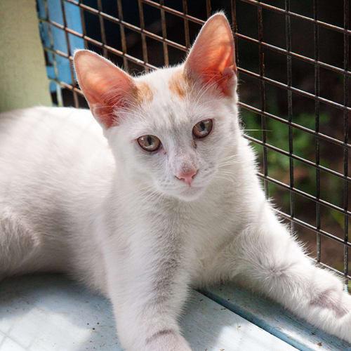 Carter - Oriental Cat