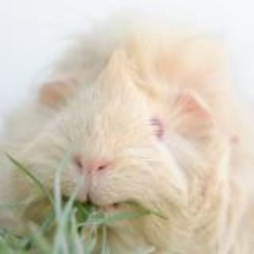 Candy - Abyssinian Guinea Pig