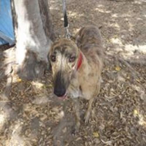 Ben - Greyhound Dog