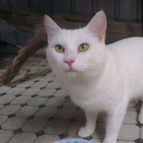 Chubby - Domestic Short Hair Cat