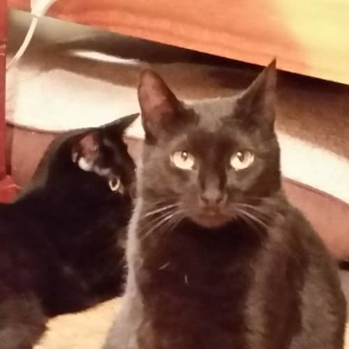 Gracie ** 2nd Chance Cat Rescue** - Domestic Short Hair Cat