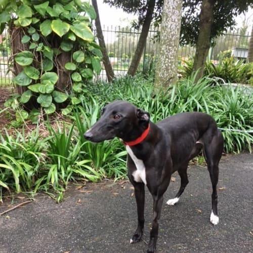 Sassy (Greenhound in training) - Greyhound Dog