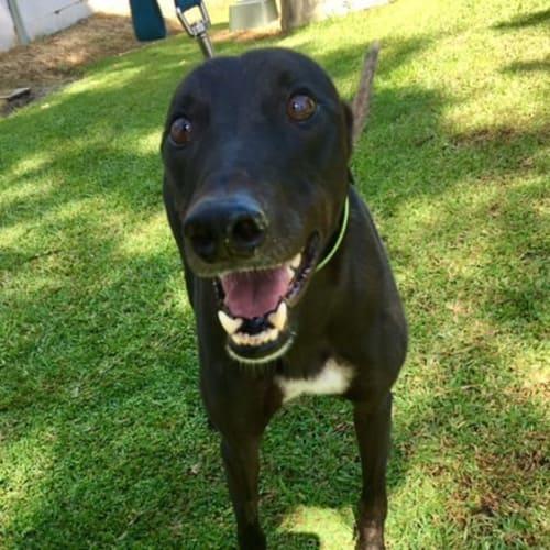Jack (Greenhound in Training) - Greyhound Dog