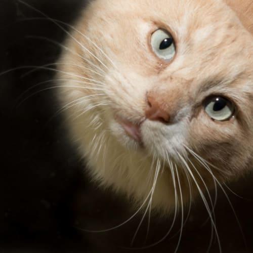 Rocky & Winter  - Domestic Medium Hair x Ragdoll Cat