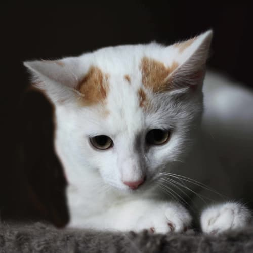 Olaf - Domestic Short Hair Cat
