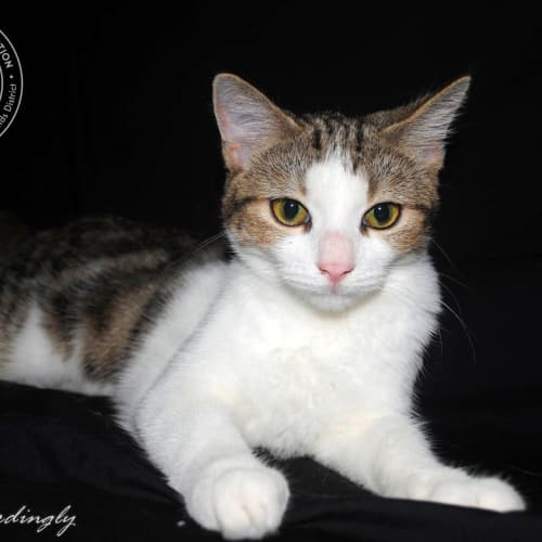 Chrissy - Domestic Short Hair Cat