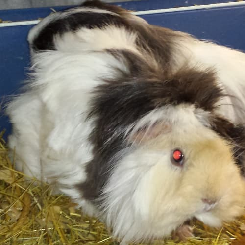 Candy Cane and friends - Peruvian Guinea Pig