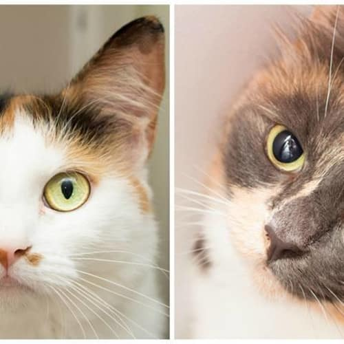AK0857/AC0266 - Rosie & Lula - Domestic Medium Hair Cat