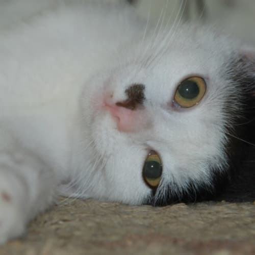 Monroe~Loves other cats - Domestic Short Hair Cat