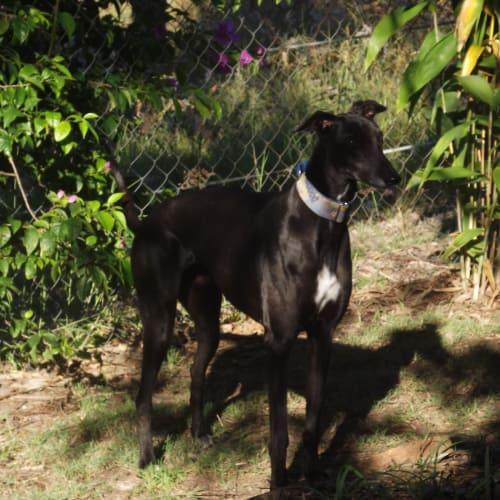 Wilma - Greyhound Dog